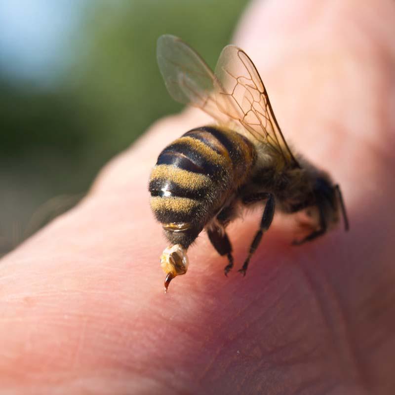 ape che perde il pungiglione dopo aver punto