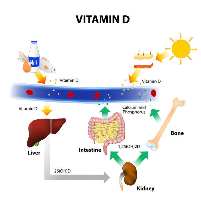 ciclo sintesi vitamina d