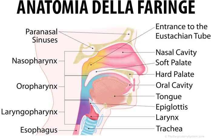 Anatomia della Faringe